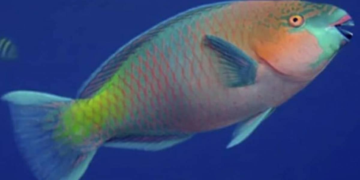 Promueven una campaña en República Dominicana para preservar al pez loro