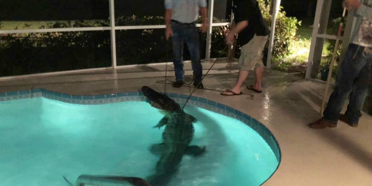 """""""Nade bajo su propio riesgo"""": Fueron a darse un reparador baño en su piscina y se encontraron con un cocodrilo de 3 metros"""