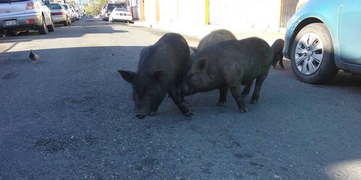 Cerdos invaden Barrio Obrero