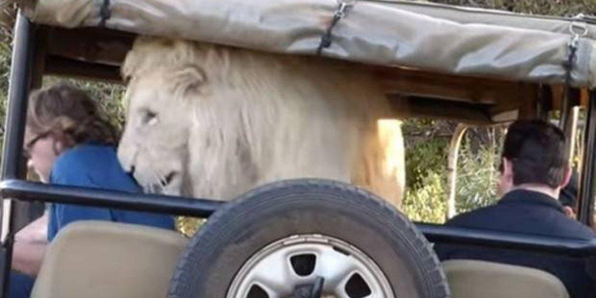 Leão branco é gravado invadindo carro de turistas na África do Sul