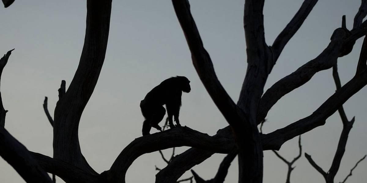 Hallan restos de pequeño mono que vivió hace 4,2 millones de años