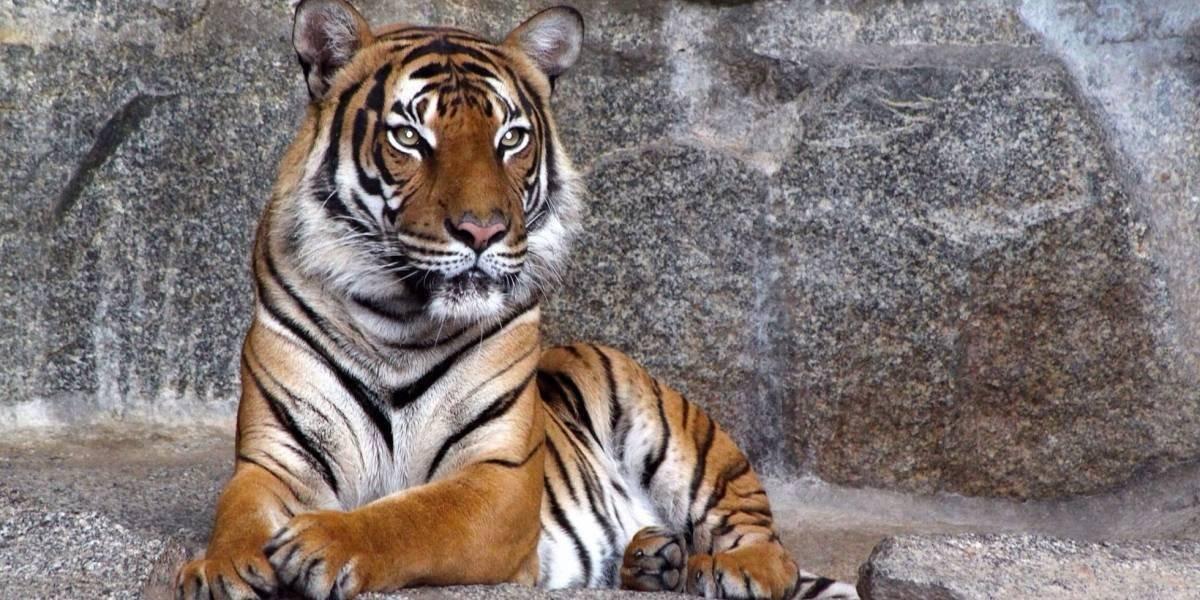 Joven de la India se enfrentó con un tigre