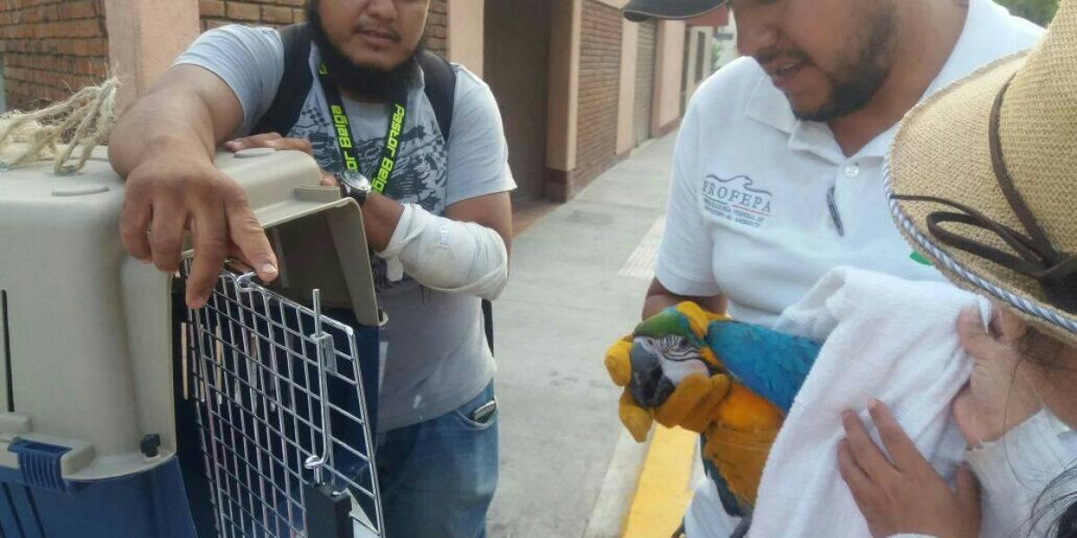Profepa rescata a papagayo que se encontraba en la vía pública de Morelia
