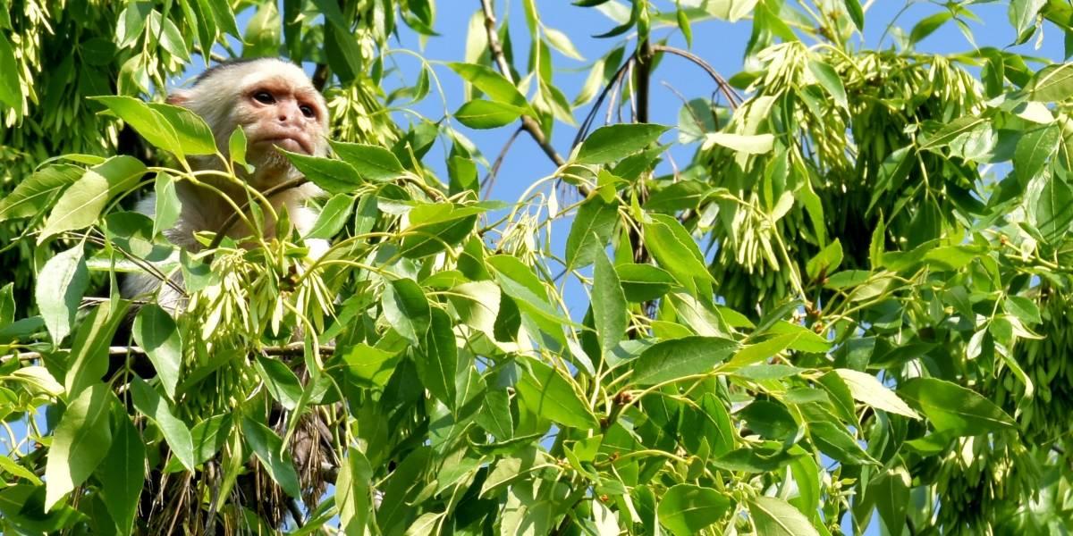 Después de 10 días buscan al mono capuchino con folletos