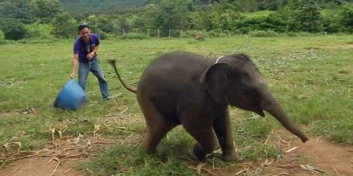 Vídeo de bebê elefante 'caindo na risada' faz sucesso nas redes sociais