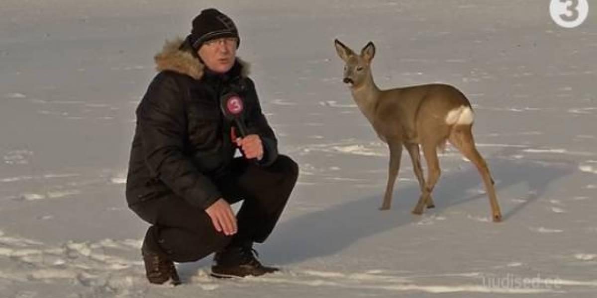 ¿El mejor meme del año? Periodista intenta entrevistar a ciervo y provoca una avalancha de troleos en redes sociales