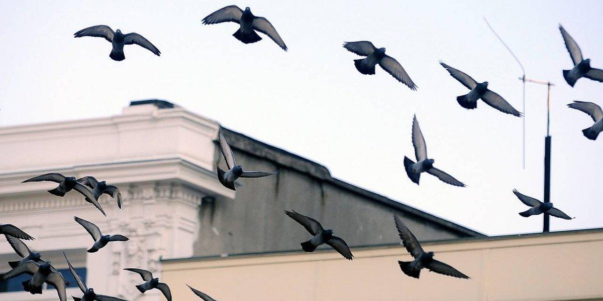 Ciudad española condena al destierro a cinco mil palomas: serán enviadas a un pueblo a 700 kilómetros