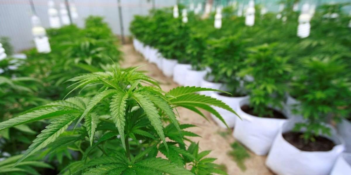 """Desvinculan a policías que acusaron a """"ratas"""" de comerse más de 500 kilos de marihuana"""