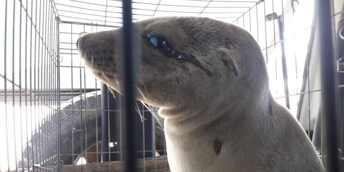 Rescatan a lobos marinos tras haber varado en Baja California