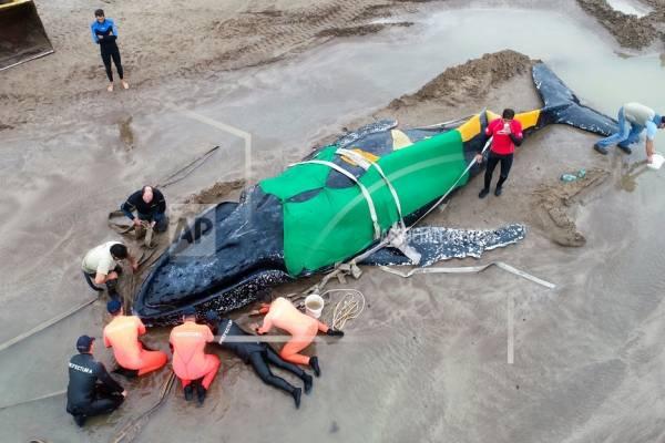 Miembros de la Prefectura Naval Argentina y voluntarios trabajan para rescatar a una ballena jorobada varada en Mar del Plata, Argentina, el lunes 9 de abril de 2018.