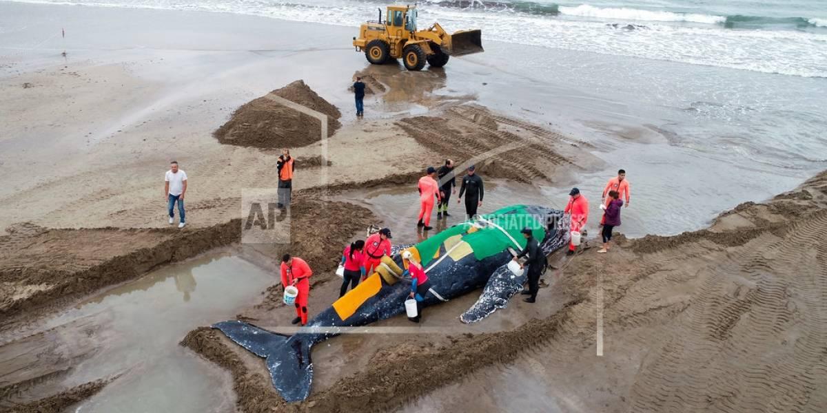 Tratan de devolver al mar a ballena encallada en Argentina