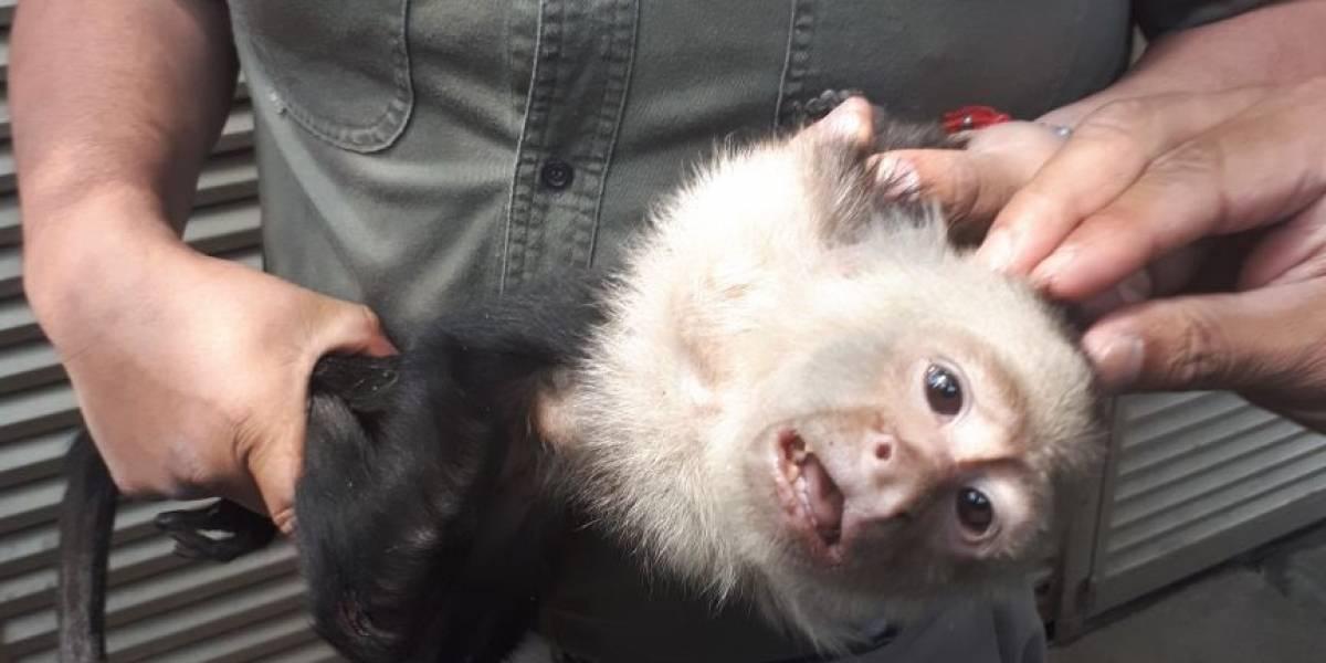 Profepa logra capturar a mono capuchino en calles de la CDMX