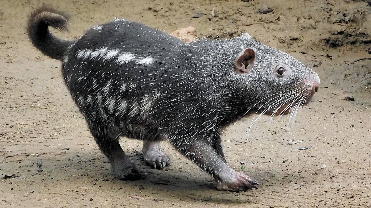 paca-de-rabo (do grupo dinomys branickii)