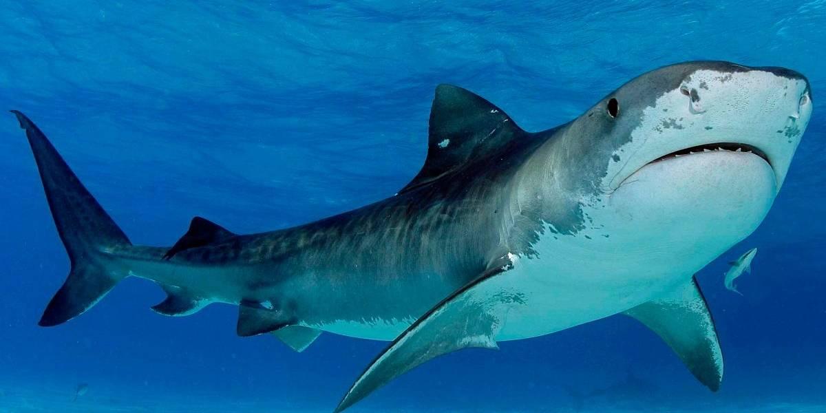 La práctica con tiburones que pone en peligro a bañistas en Colombia