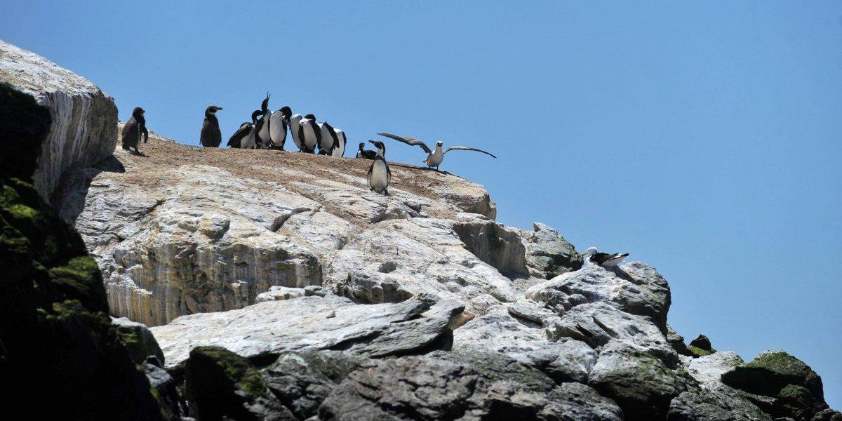 ¿Problemas para los pingüinos de Humboldt? Proyecto de la CAP pone nuevamente en alerta a Isla Choros