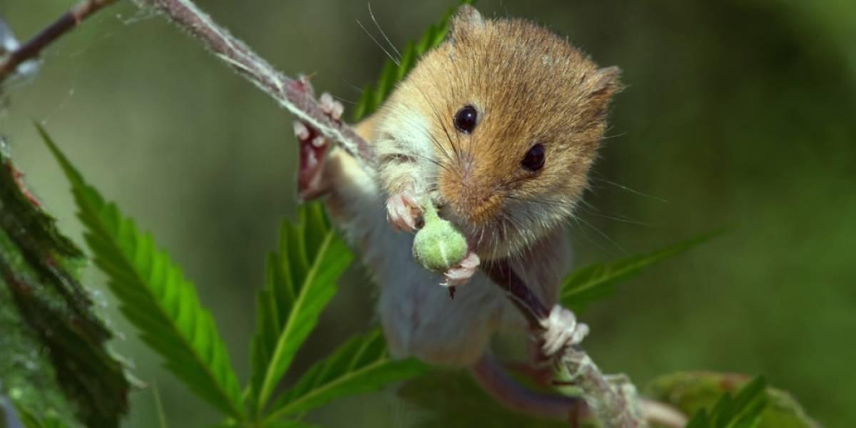 Polícias despedidos afirmam que ratos comeram meia tonelada de marijuana