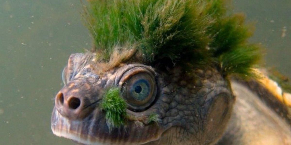 La tortuga punk que respira a través de sus genitales está en peligro de extinción