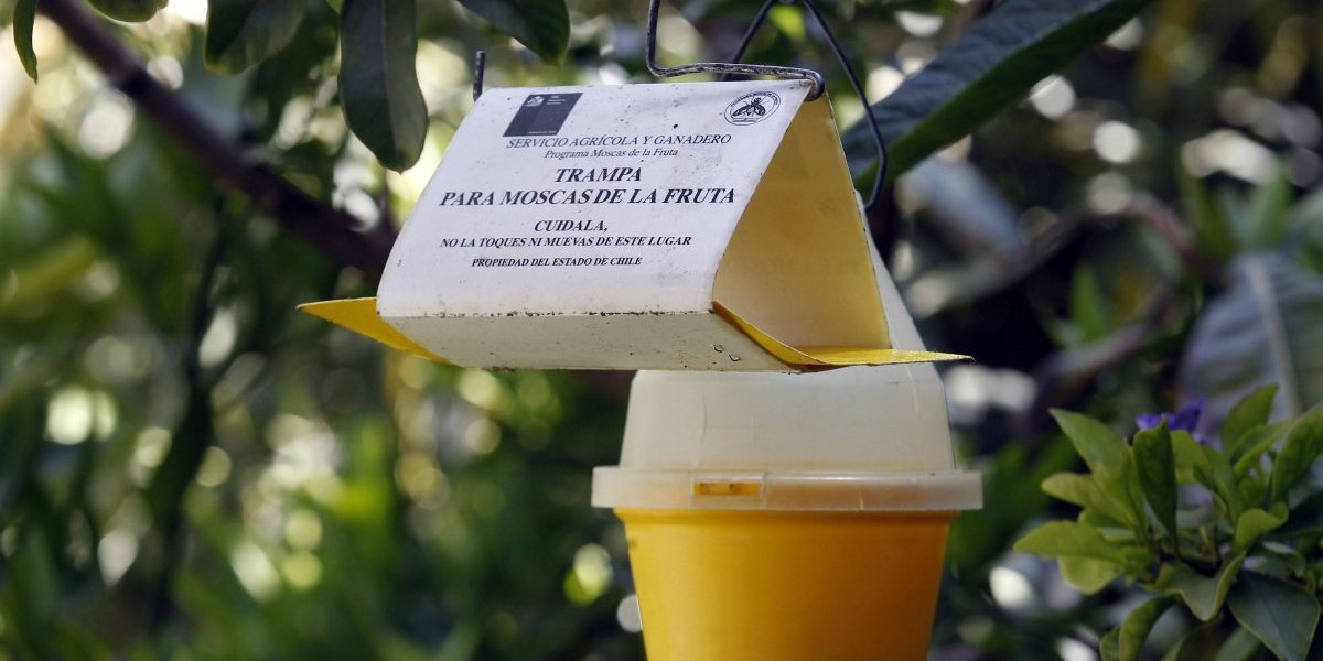 Las Condes: SAG declaró que la comuna se encuentra libre de la mosca de la fruta