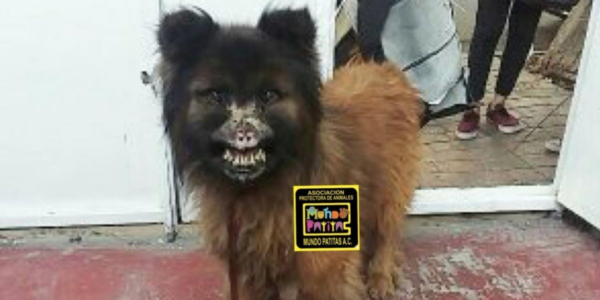 Vivió amarrado a un árbol comiendo basura por seis años: la triste historia de Chilaquil el perro que fue desfigurado con ácido
