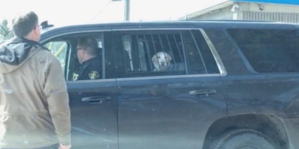 """Su cara de """"culpable"""" lo transformó en viral: perro fue detenido tras escapar de su casa"""