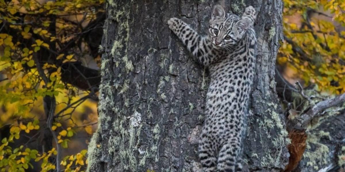 Fotógrafo chileno los buscó durante 3 años: revelan imágenes del gato de Geoffroy, uno de los animales más raros y escasos de Chile