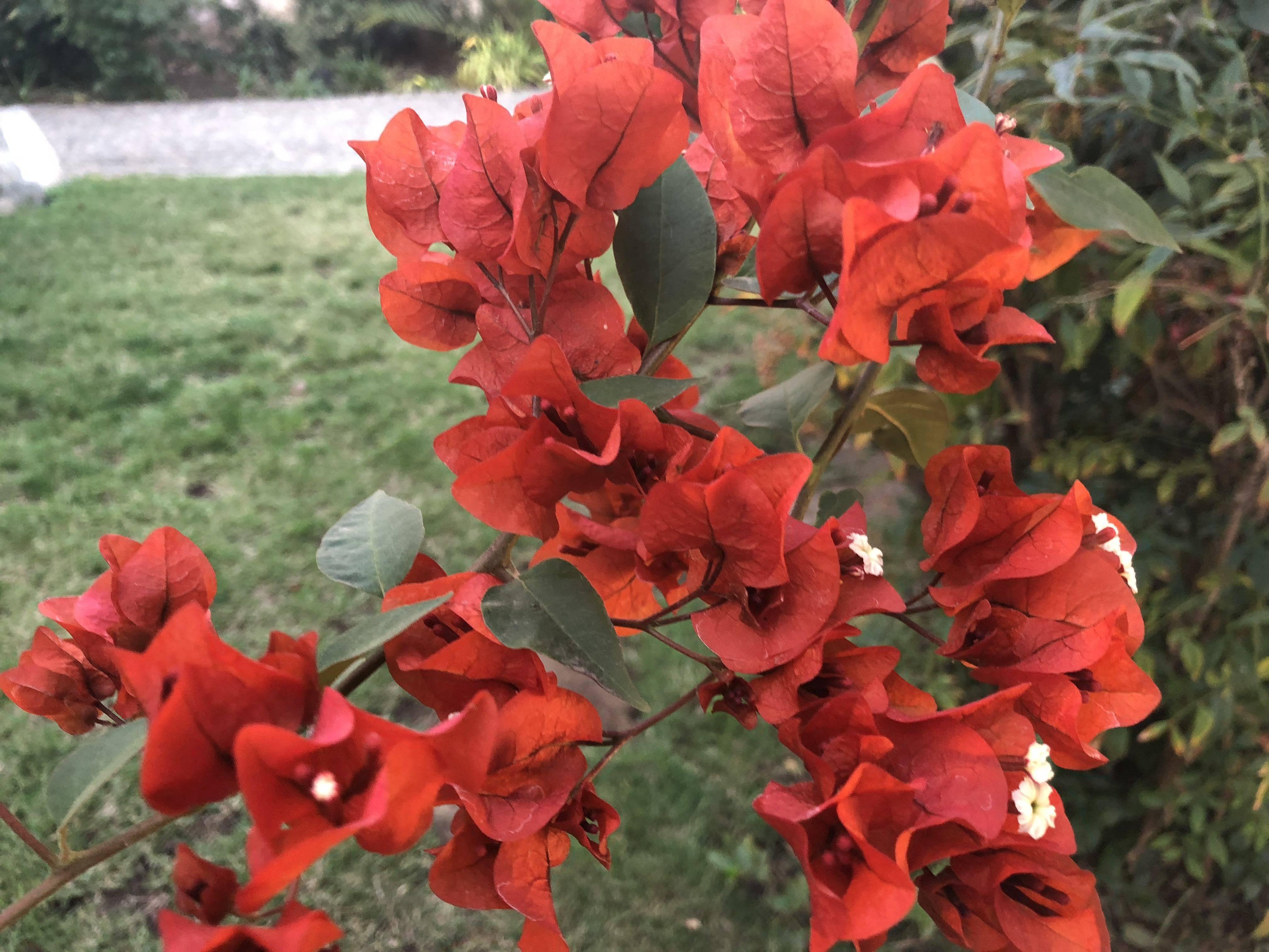flores macro iphone X