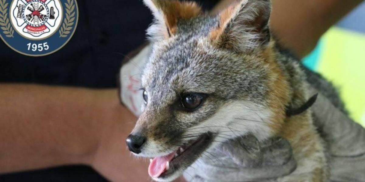 La zorra gris rescatada en zona 21 que se roba las miradas