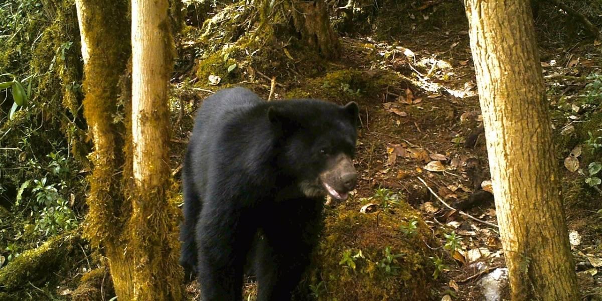 Una apuesta desde la escuela para cuidar al oso de anteojos