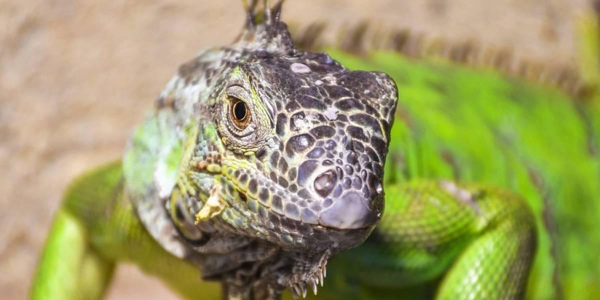 """Por que os lagartos têm um """"terceiro olho"""""""
