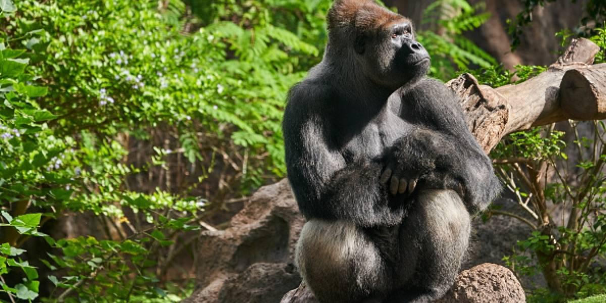 """""""Frescos y juguetones"""": gorilas fueron sorprendidos en una escena comprometedora y las fotos se transformaron en viral"""