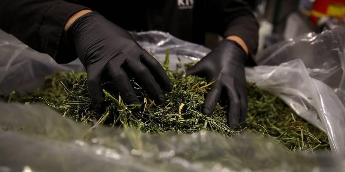 ¿La despenalización de la planta de la marihuana será un negocio o un derecho humano?