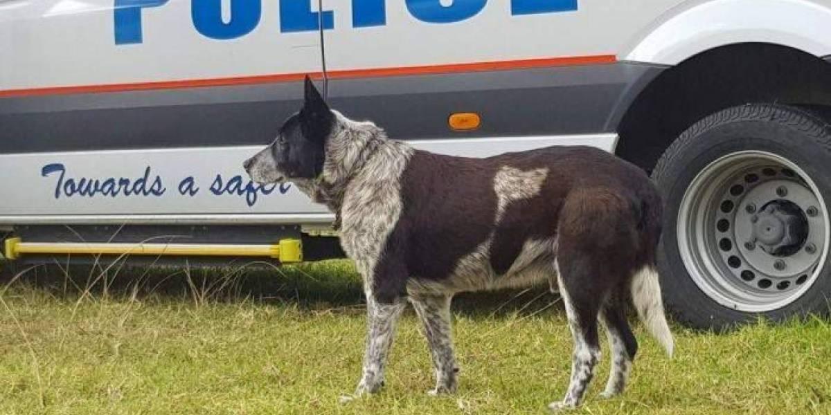 Cão surdo e parcialmente cego ajuda a resgatar menina desaparecida