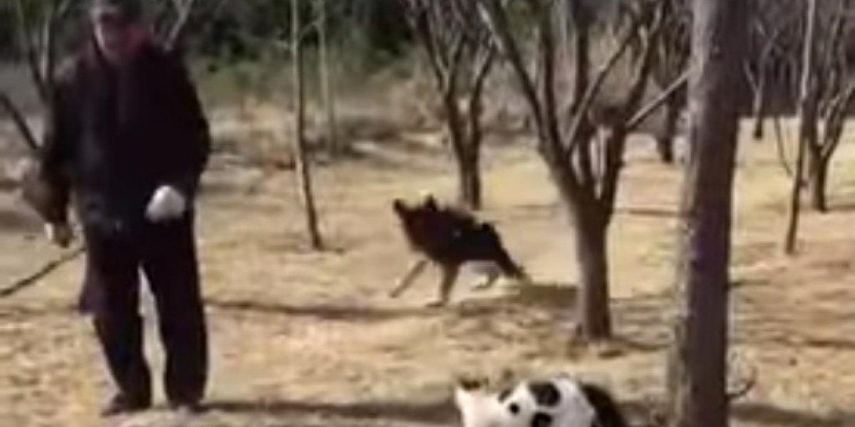 """Te metiste al barrio equivocado: el feroz ataque de """"banda"""" de gatos callejeros a un jubilado y su perro en China"""