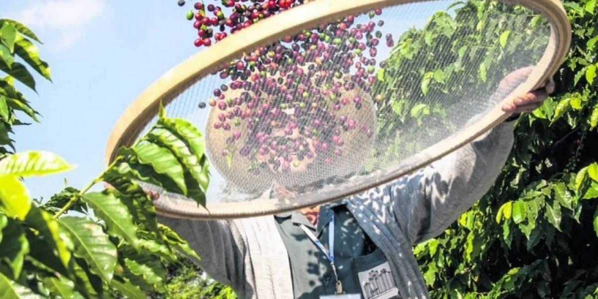 Café de Guatemala es declarado Patrimonio Cultural intangible de la Nación