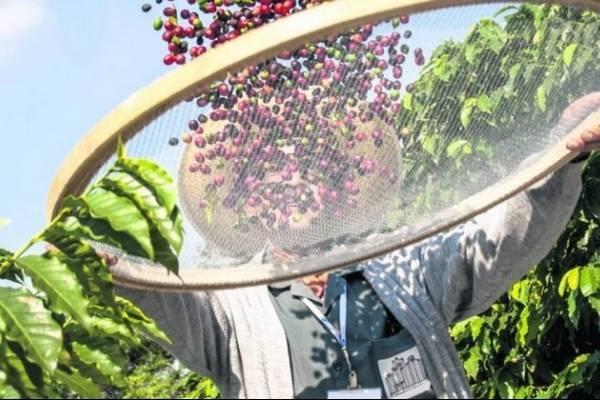 Los productores de café se enfrentan al problema de la roya