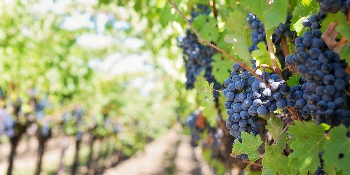 Producción de vino en 2017 fue la más baja del siglo XXI por el cambio climático