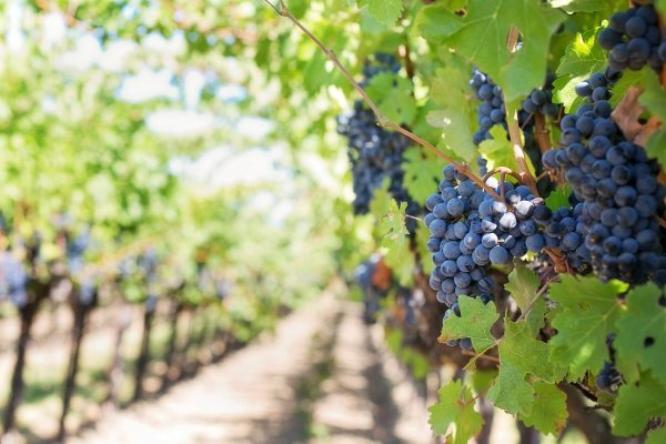 """La explicación se encuentra en las malas condiciones climáticas como las fuertes sequías, ya que """"la viña es muy sensible al clima"""""""
