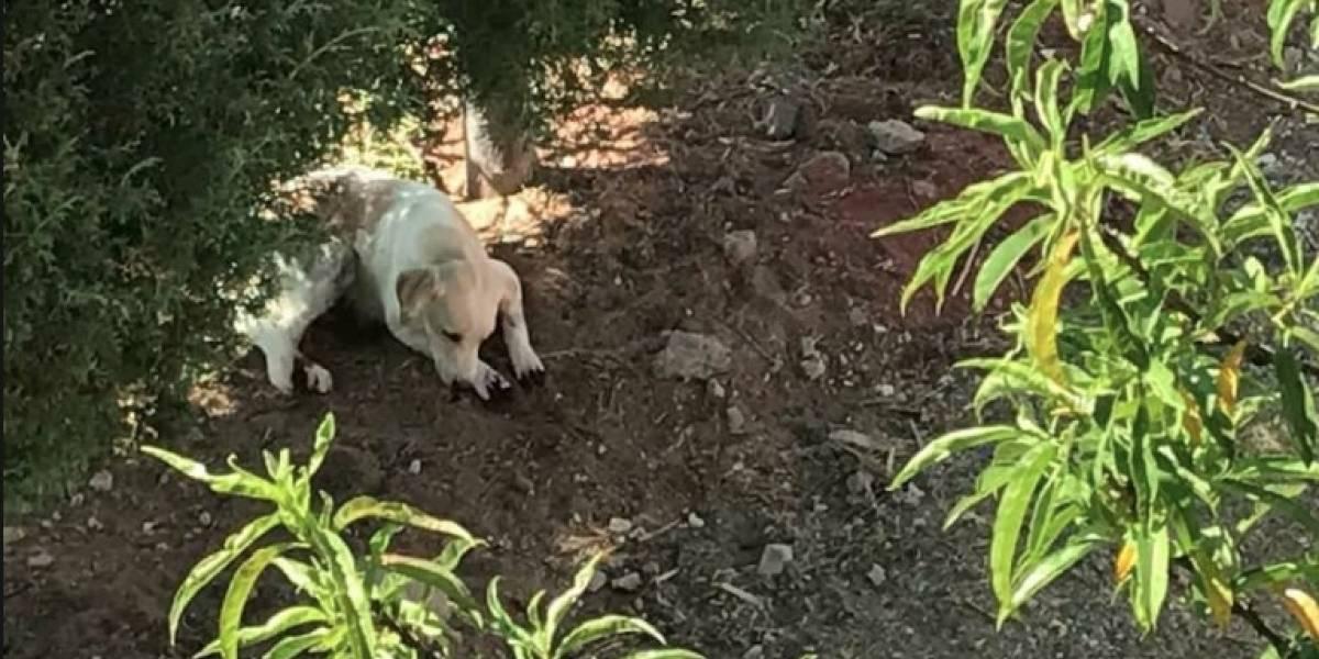 Mujer le corta las patas a sus perros para que no rasquen su jardín