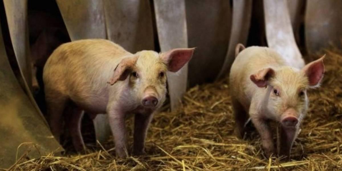 El polémico experimento que da la vuelta al mundo: decapitan a cerdos para lograr que los humanos sean inmortales