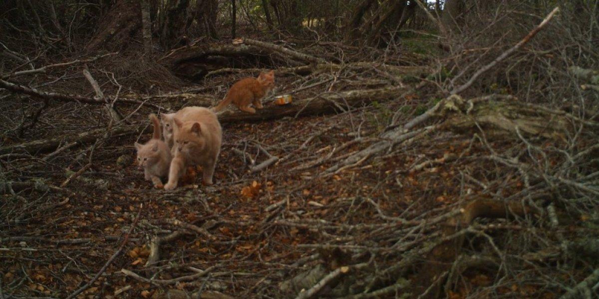 Gatos, perros asilvestrados y especies exóticas invasoras: las amenazas que podrían destruir la Reserva de la Biosfera chilena más austral del planeta