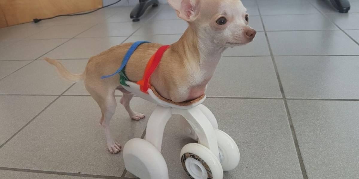 Investigadores de la UVM desarrollan primera prótesis 3D para perro