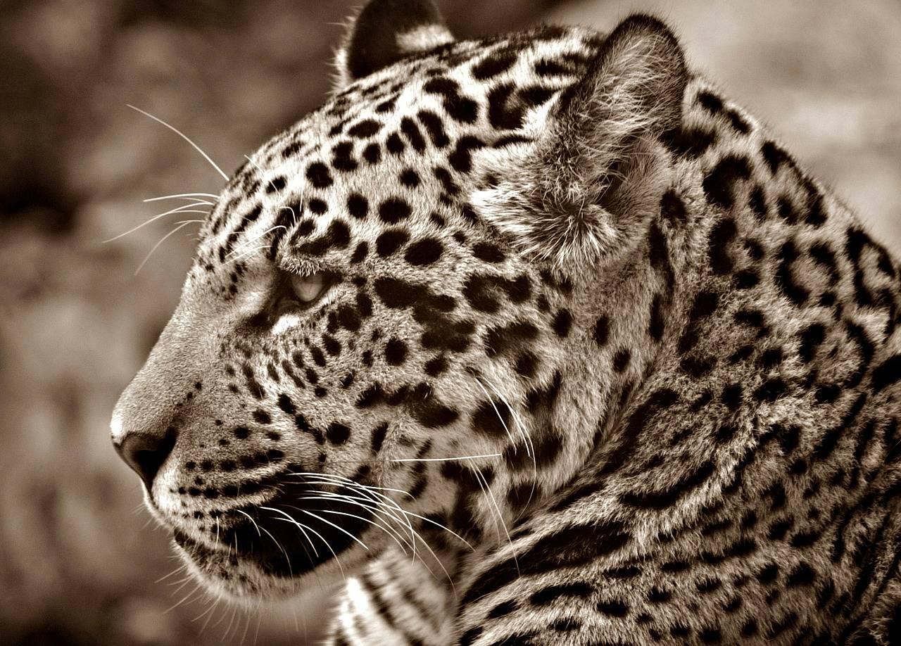 Saltó una valla en el zoológico para tomarse selfie con un jaguar y las cosas salieron muy mal