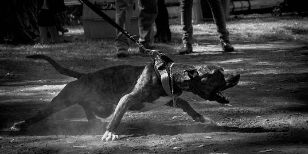 Regresó a su casa y encontró una horrible escena: estaba todo destruido y el pitbull de su vecino estaba devorando a su gato