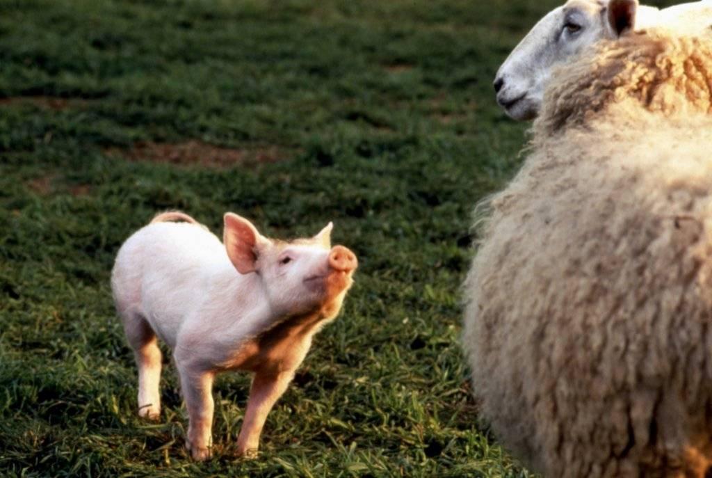 Babe y una oveja