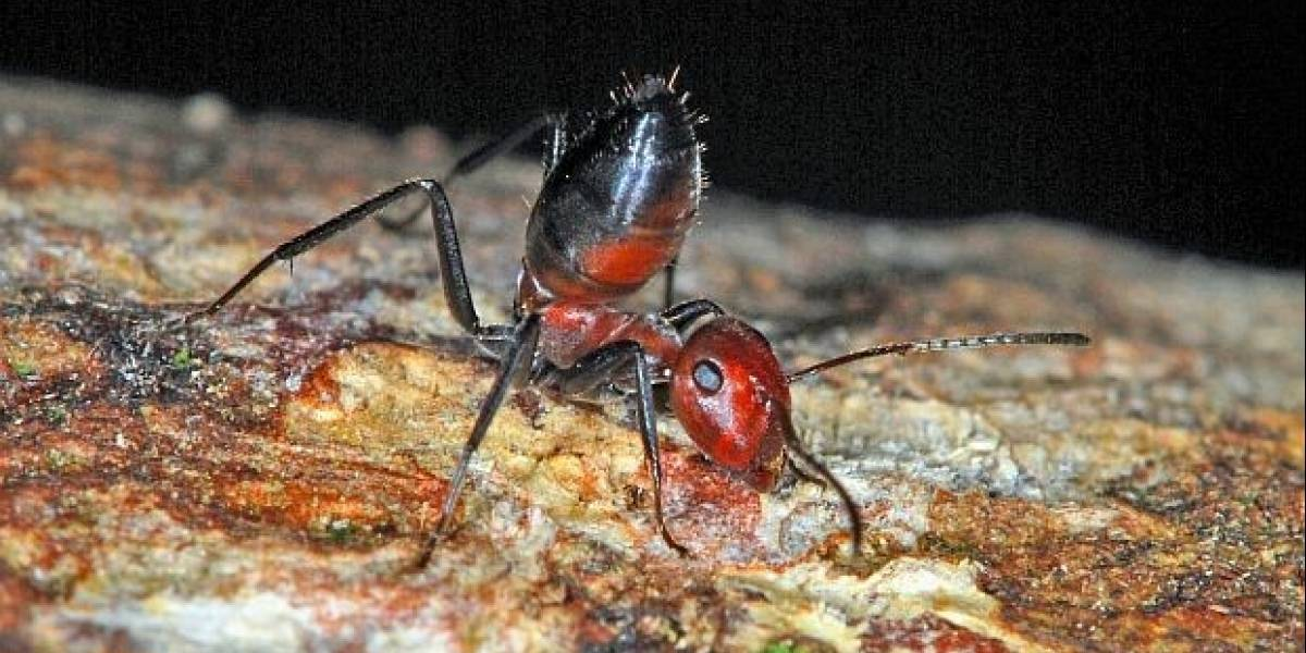"""Hallan nueva especie de """"hormiga explosiva"""" en la isla de Borneo"""
