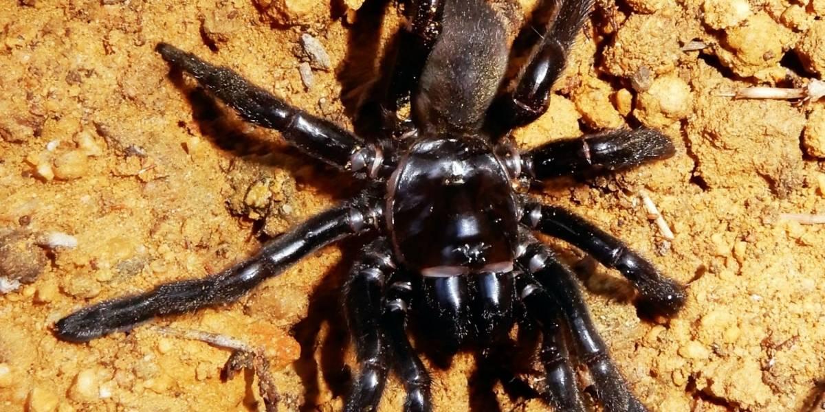 Muere a los 43 años la araña más vieja del mundo