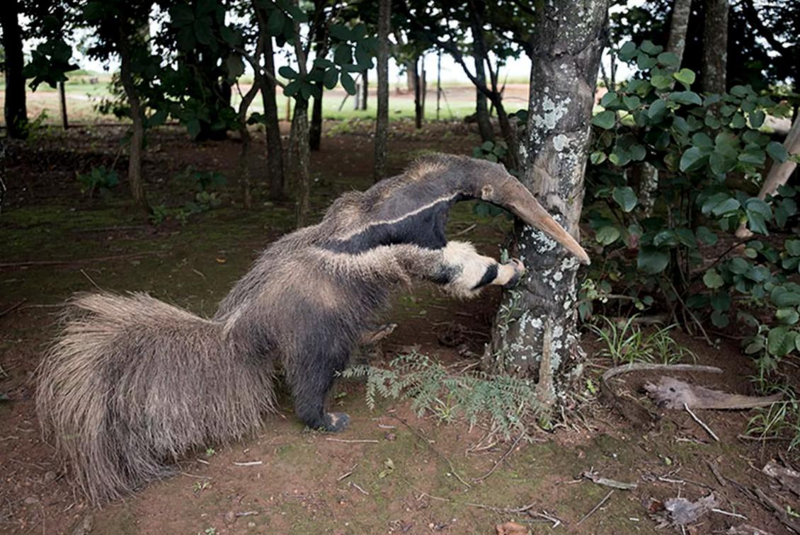 oso hormiguero falso