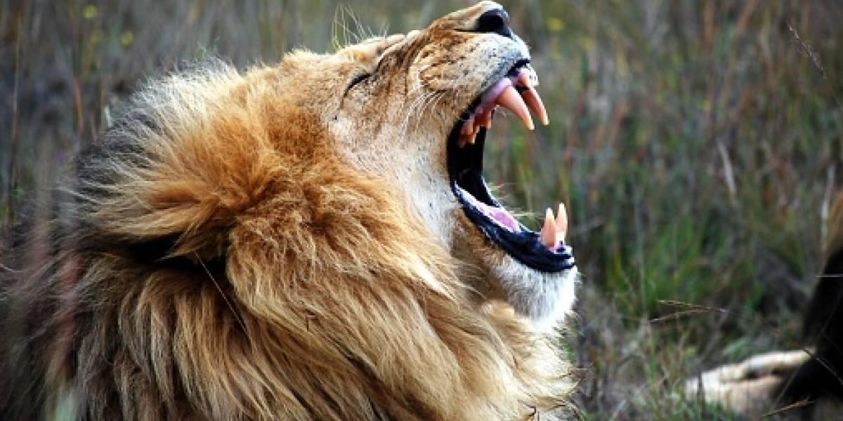 Fuerte video: León ataca y mutila al dueño de una reserva