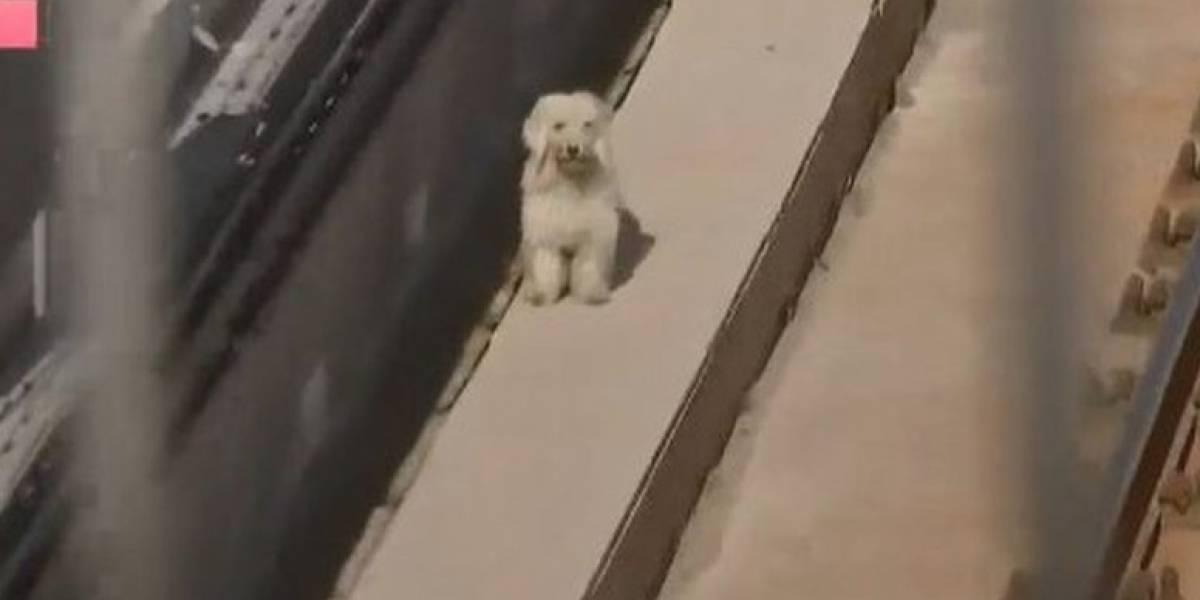Puso a todos en alerta: ¿Qué pasó finalmente con el perrito que llevaba tres días atrapado en la Línea 4 del Metro?