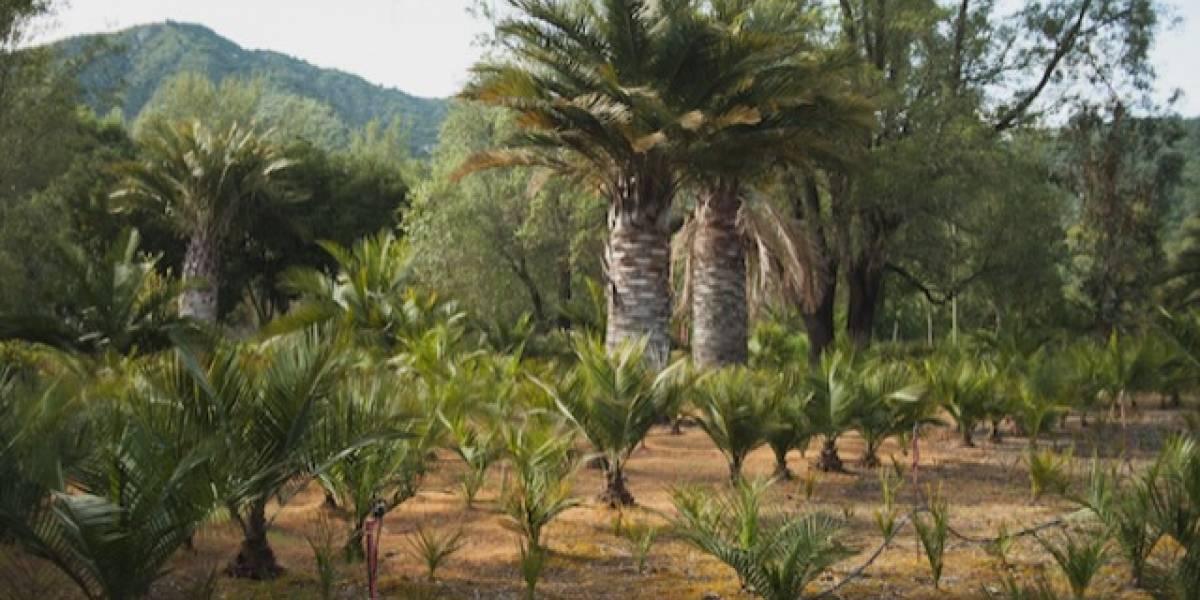 Segundo palmar más grande del mundo es chileno y ecosustentable